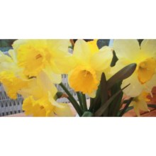 "Entryways Image Collection Padded Entry/Kitchen Mat - 20x40"" in Daffodils - 2nds"
